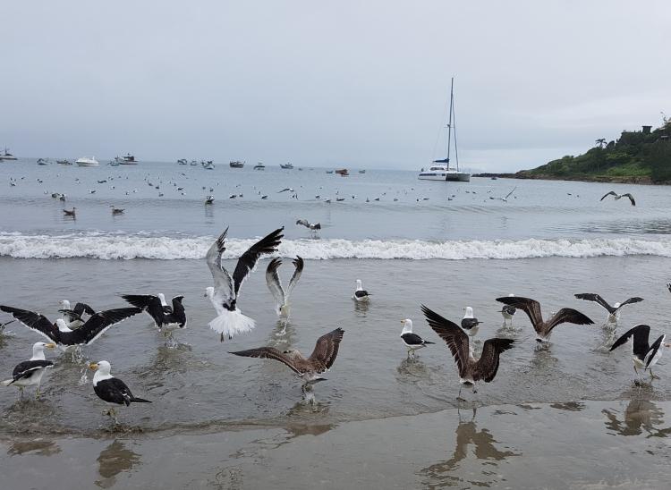 birds garopaba beach jan2019b