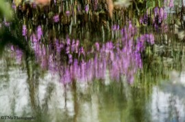 Blurred Pink Reflections in MY Water-Lily Pond. Pq do Bicão 04Mar16